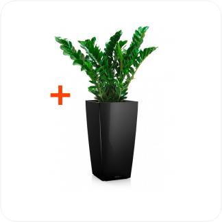 Купить Готовая продукция - растения в кашпо Замиокулькас + Кашпо Lechuza Cubico 30 в СПб с доставкой