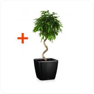 Купить Готовая продукция - растения в кашпо Фикус Амстел Кинг спираль + Кашпо Lechuza Quadro LS 43 в СПб с доставкой