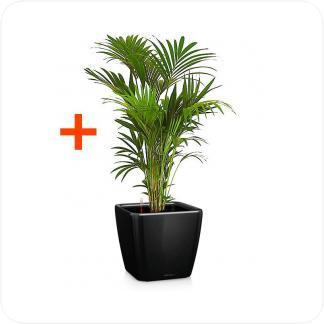 Купить Готовая продукция - растения в кашпо Ховея + Кашпо Lechuza Quadro LS 43 в СПб с доставкой