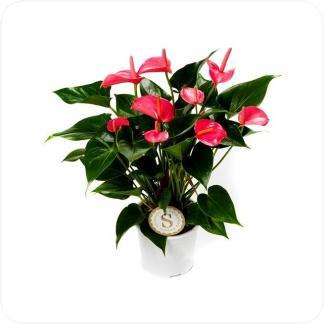 Купить Цветущие растения Антуриум Андрианум розовый в СПб с доставкой