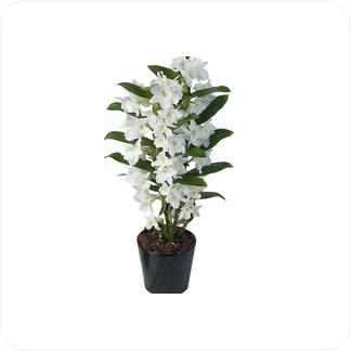Купить Орхидеи Дендробиум нобиле в СПб с доставкой
