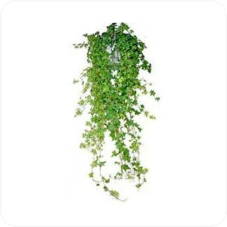 Купить Вьющиеся и ампельные растения Хедера хеликс в СПб с доставкой