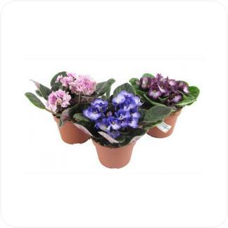 Купить Цветущие растения Фиалка в СПб с доставкой