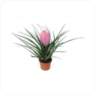 Купить Цветущие растения Тилландсия Анита в СПб с доставкой