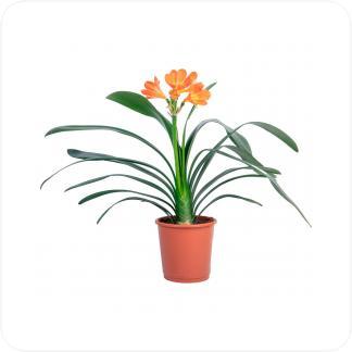Купить Цветущие растения Кливия Миниата (Кливия Киноварная) в СПб с доставкой