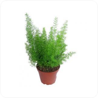 Купить Декоративно-лиственные растения Аспарагус Мейерс в СПб с доставкой