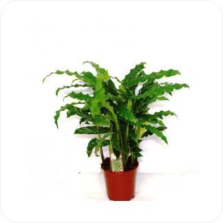Купить Декоративно-лиственные растения Калатея Руфибарба в СПб с доставкой