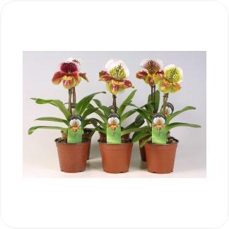 Купить Орхидеи Пафиопедилум американский ассорти в СПб с доставкой