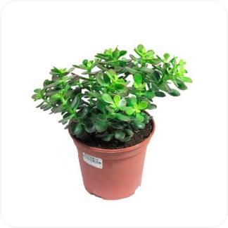 Купить Суккуленты и кактусы Крассула овата минор в СПб с доставкой