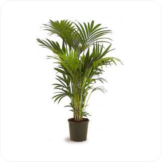 Купить Пальмы Ховея в СПб с доставкой