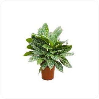 Купить Декоративно-лиственные растения Аглаонема Страйпс в СПб с доставкой