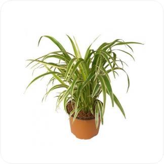 Купить Декоративно-лиственные растения Хлорофитум Лаксум в СПб с доставкой