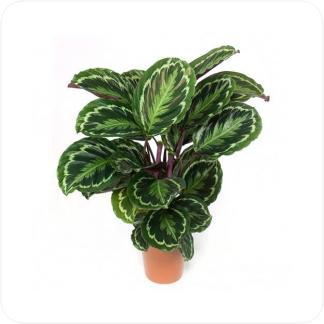 Купить Декоративно-лиственные растения Калатея Медальон в СПб с доставкой