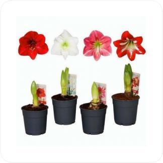 Купить Цветущие растения Гиппеаструм Микс в СПб с доставкой