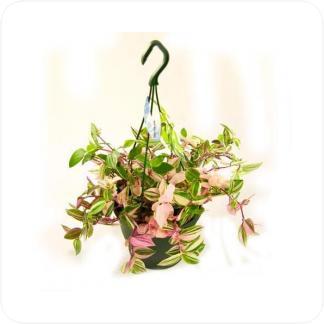 Купить Вьющиеся и ампельные растения Традесканция квадриколор подвесная в СПб с доставкой