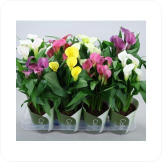 Купить Цветущие растения Калла Микс в СПб с доставкой