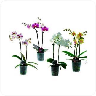 Купить Орхидеи Фаленопсис (2 ствола) в СПб с доставкой