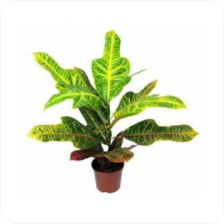 Купить Декоративно-лиственные растения Кодиеум (Кротон) Экселент в СПб с доставкой