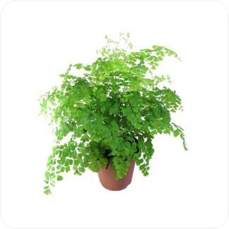 Купить Декоративно-лиственные растения Адиантум Фрагранс в СПб с доставкой