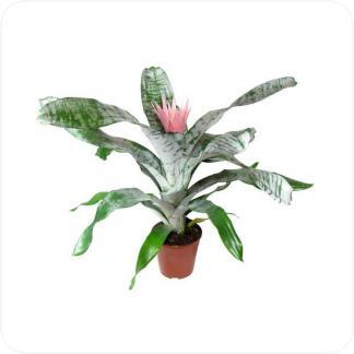 Купить Цветущие растения Эхмея Фасциата в СПб с доставкой