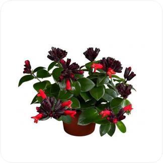 Купить Цветущие растения Эсхинантус Мона Лиза в СПб с доставкой