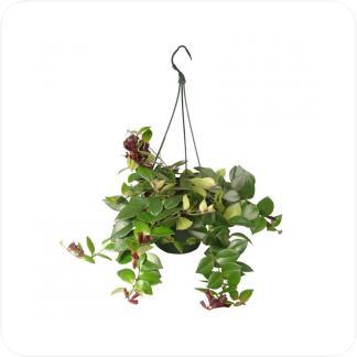 Купить Вьющиеся и ампельные растения Эсхинантус мона лиза подвесной в СПб с доставкой