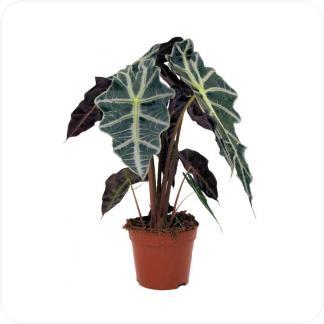 Купить Декоративно-лиственные растения Алоказия Полли в СПб с доставкой
