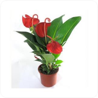 Купить Цветущие растения Антуриум Шерцера в СПб с доставкой