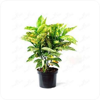 Купить Декоративно-лиственные растения Аукуба Японская в СПб с доставкой