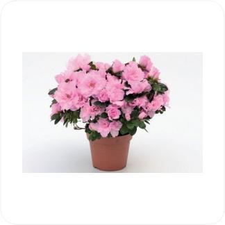 Купить Цветущие растения Азалия в СПб с доставкой
