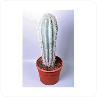 Купить Суккуленты и кактусы Пахицереус Прингла (Pachycereus Pringley) в СПб с доставкой