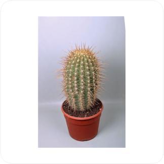 Купить Суккуленты и кактусы Трихоцереус Пасакана (Атакамский) в СПб с доставкой