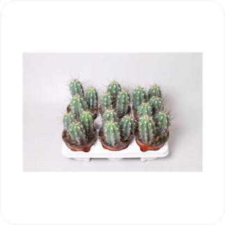 Купить Суккуленты и кактусы Стетсония Корине (Булавовидная) в СПб с доставкой