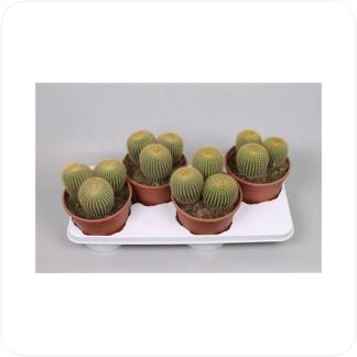 Купить Суккуленты и кактусы Нотокактус Ленингхауса в СПб с доставкой
