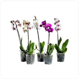 Купить Орхидеи Фаленопсис 1 ствол в СПб с доставкой