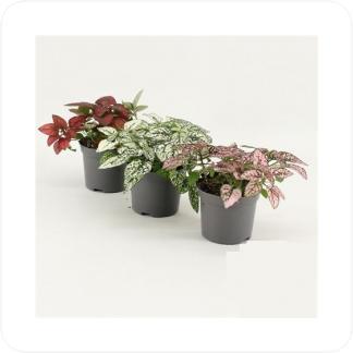 Купить Декоративно-лиственные растения Гипоэстес Микс в СПб с доставкой