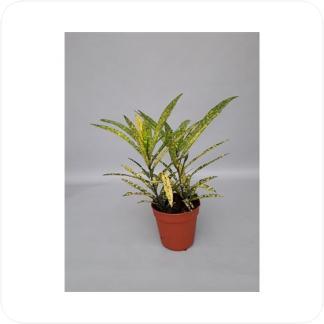 Купить Декоративно-лиственные растения Кодиеум Голд Стар в СПб с доставкой