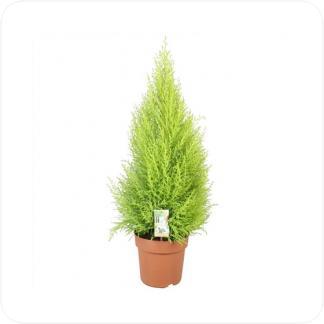 Купить Декоративно-лиственные растения Купрессус Голдкрест Вилма (Кипарис) в СПб с доставкой