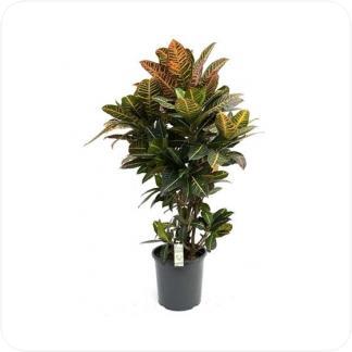Купить Декоративно-лиственные растения Кодиеум (Кротон) Петра Разветвлённый в СПб с доставкой