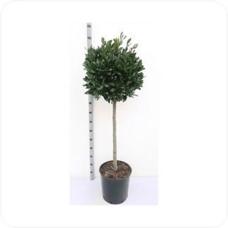 Купить Декоративно-лиственные растения Лавр Нобилис 1 ствол в СПб с доставкой