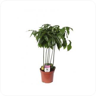 Купить Декоративно-лиственные растения Кастаноспермум (Комнатный Каштан) в СПб с доставкой