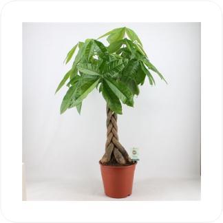 Купить Декоративно-лиственные растения Пахира Акватика в СПб с доставкой