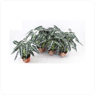 Купить Декоративно-лиственные растения Алоказия Бамбино в СПб с доставкой