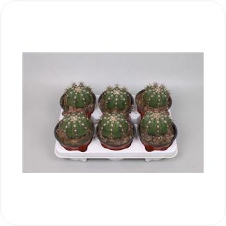 Купить Суккуленты и кактусы Мелокактус в СПб с доставкой