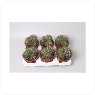 Купить Суккуленты и кактусы Мелокактус групповой в СПб с доставкой