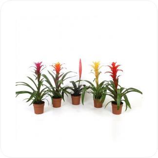 Купить Цветущие растения Бромелия Микс в СПб с доставкой