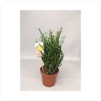 Купить Суккуленты и кактусы Молочай Тирукалли в СПб с доставкой
