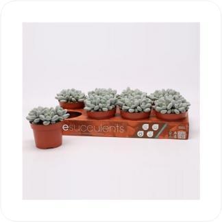 Купить Суккуленты и кактусы Пахифитум в СПб с доставкой