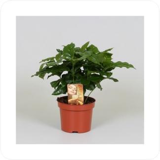 Купить Декоративно-лиственные растения Кофе Арабика в СПб с доставкой