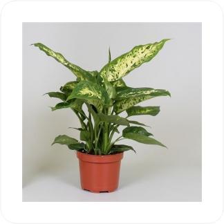 Купить Декоративно-лиственные растения Диффенбахия Компакта в СПб с доставкой